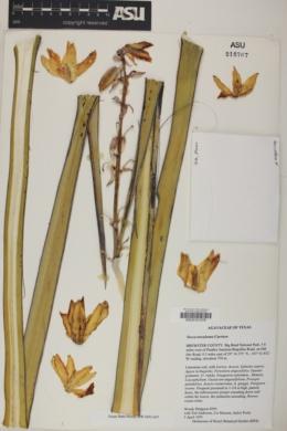 Yucca treculeana image