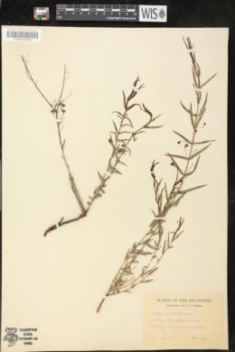Nesaea longipes image