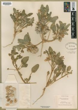 Tripterocalyx micranthus image