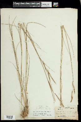 Image of Spartina x caespitosa