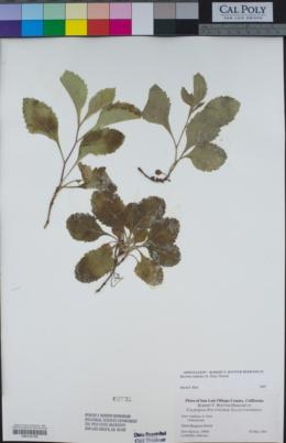 Eurybia radulina image