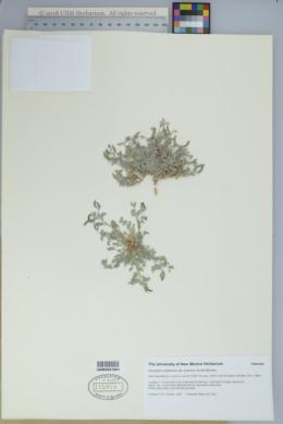Astragalus nuttallianus var. austrinus image