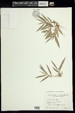 Dichanthelium joorii image