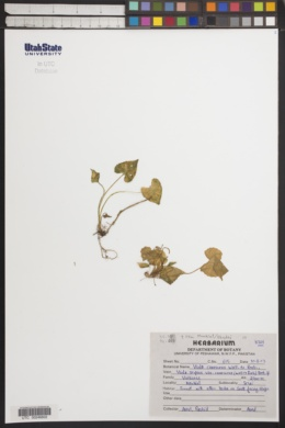 Image of Viola canescens