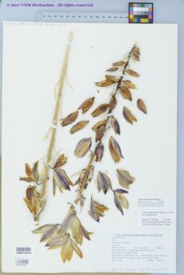 Image of Yucca intermedia