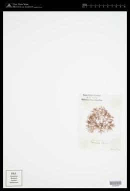 Caloglossa leprieurii image