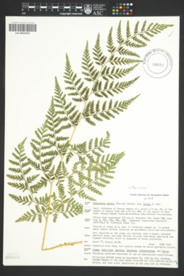 Image of Dryopteris rossii
