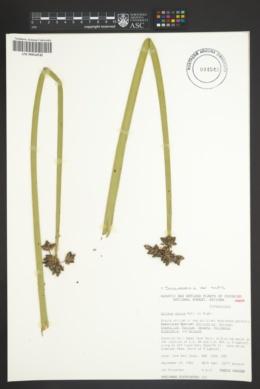 Schoenoplectus acutus var. acutus image