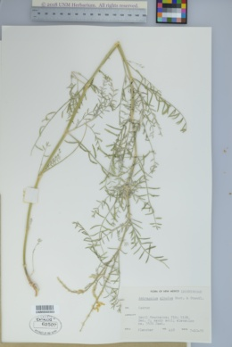Astragalus albulus image