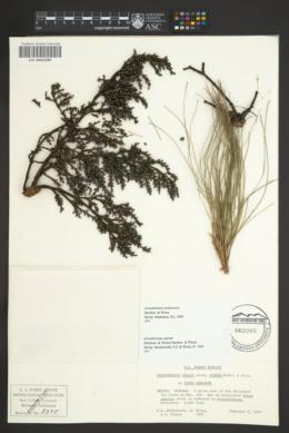 Image of Arceuthobium hondurense