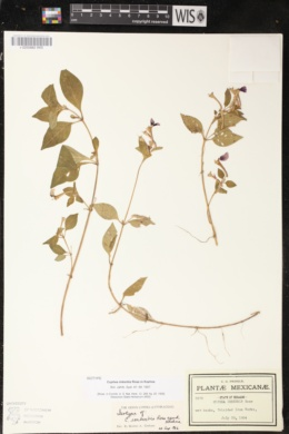 Image of Cuphea imberbis