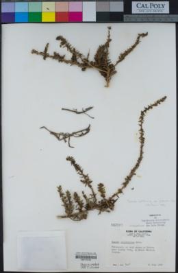 Suaeda taxifolia image