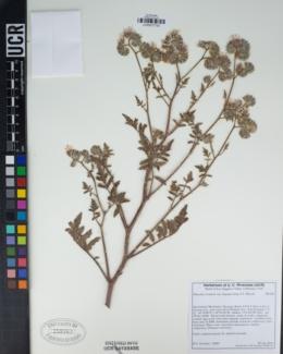 Phacelia cicutaria image