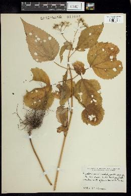 Image of Eupatorium urticaefolium