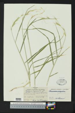 Elymus arizonicus image