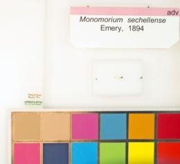 Monomorium sechellense image