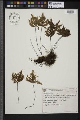 Image of Cheilanthes geraniifolia