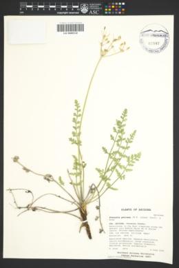 Pteryxia petraea image