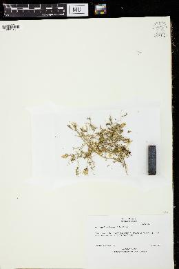 Image of Astragalus breweri