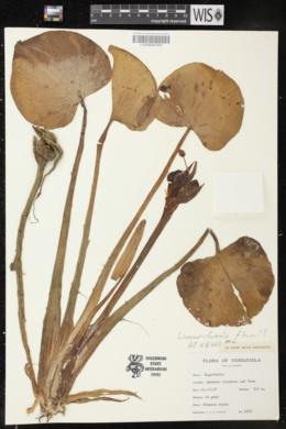 Limnocharis flava image