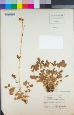 Image of Drymocallis hansenii