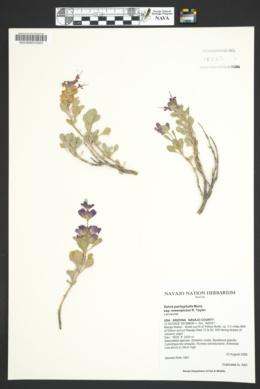 Salvia pachyphylla subsp. eremopictus image