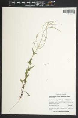 Thelypodiopsis purpusii image
