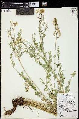 Astragalus atropubescens image