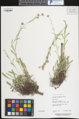 Erigeron abajoensis image