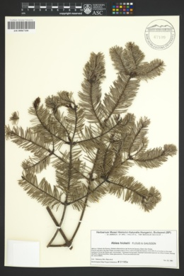 Abies hickelii image