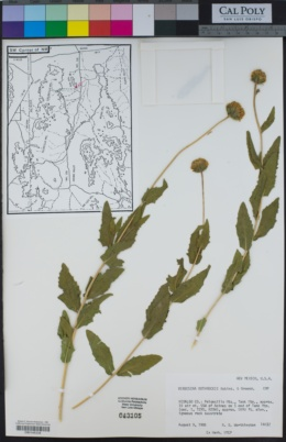 Verbesina rothrockii image