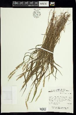 Setariopsis latiglumis image