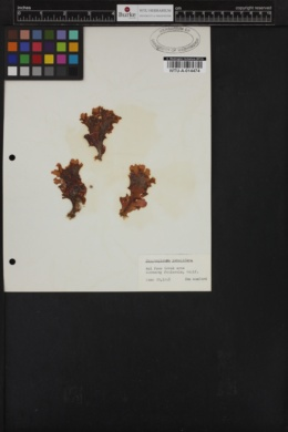 Cryptopleura lobulifera image