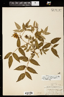 Image of Rubus loganobaccus