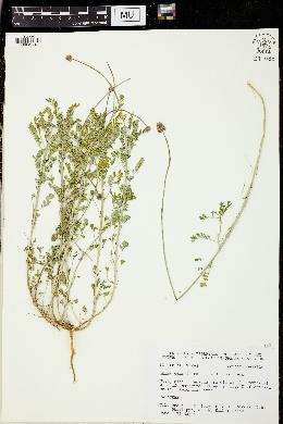 Image of Dalea emarginata