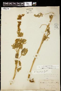 Image of Lupinus cyaneus