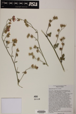 Sphaeralcea laxa image