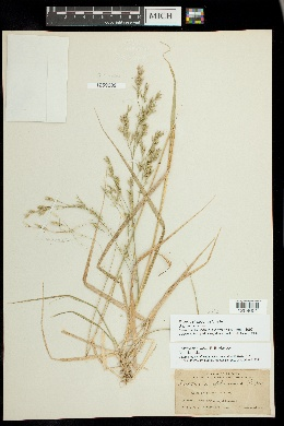 Image of Festuca chiriquensis