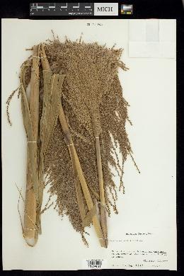 Image of Saccharum officinarum