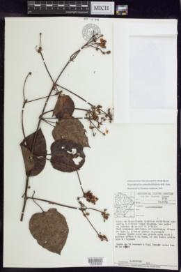 Image of Stigmaphyllon convolvulifolium
