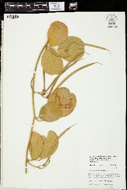 Image of Centrosema arenarium