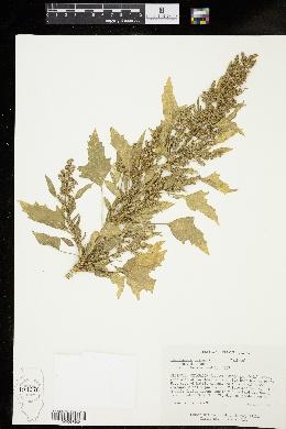 Chenopodium quinoa image