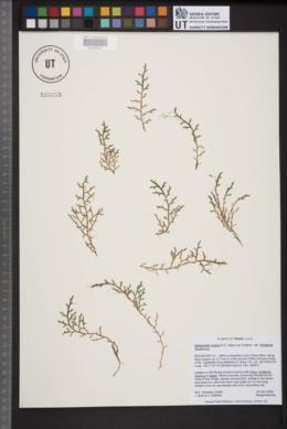Selaginella mutica var. limitanea image