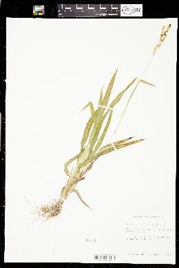 Paspalum fimbriatum image