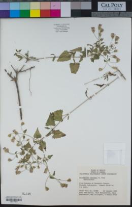 Brickellia coulteri image