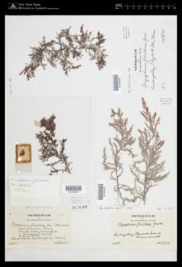 Polysiphonia fibrillosa image