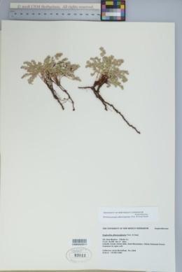 Chamaesyce albomarginata image