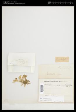 Portieria japonica image