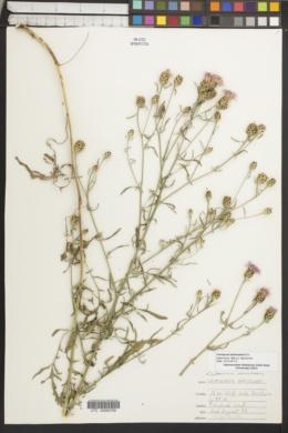 Centaurea biebersteinii image