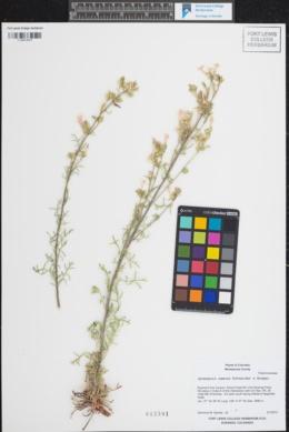 Image of Ipomopsis ramosa
